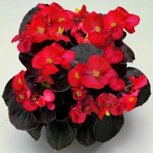 p-763-begonia-semperflorens-senator-scarlet-mini-plugs